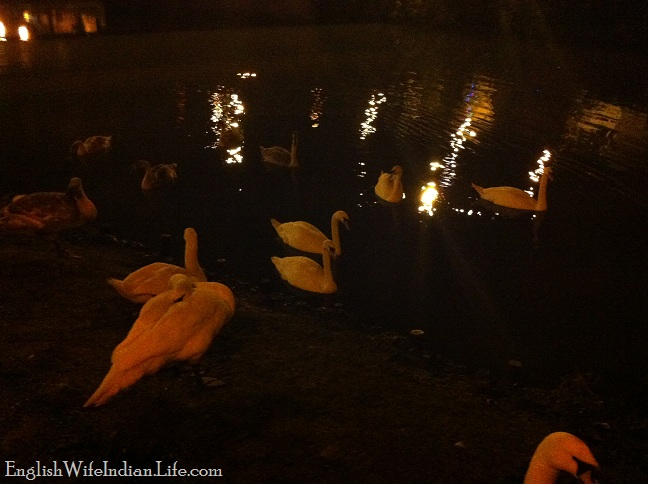 A winter walk swans in the dark