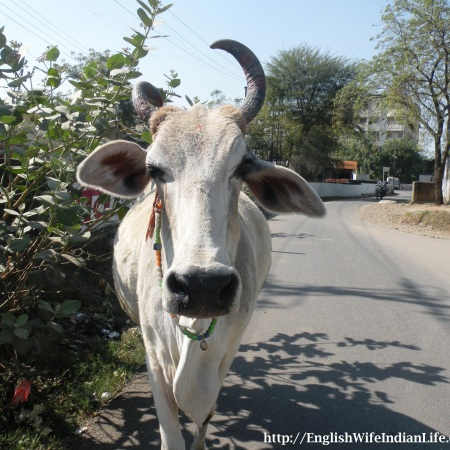 Holy Cow in India, white